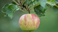 Keltereien klagen über schwache Apfel-Ernte
