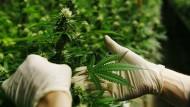 Cannabis als Schmerzmittel für 26 Hessen