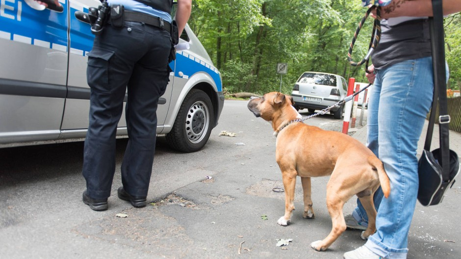 Einsteigen zur Überprüfung: Polizisten bringen einen Staffordshire Terrier und seine Halterin aufs Offenbacher Ordnungsamt.