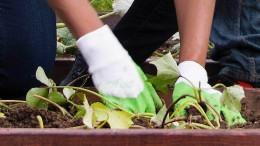 Arsen im Boden: Kleingärtner müssen Handschuhe tragen