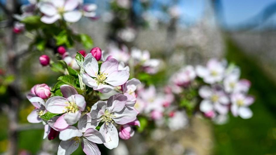 Spätblüher: Sonst sind Apfelblüten eine Woche früher dran