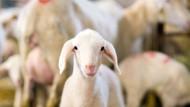 Das Lamm, ein Symbol des Lebens