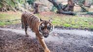 Katzen-Single: Für Tigerin Malea findet sich derzeit kein passender Partner in den Zuchtprogrammen