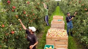 Gute Ernte bei bestem Apfelwetter