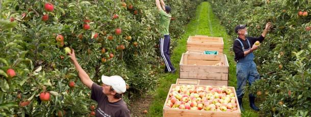 Handarbeit: Apfelpflücker auf dem einem Obsthof im unterfränkischen Oberschnur. Aufgrund des milden Winters beginnt die Ernte in diesem Jahr früher als gewohnt.