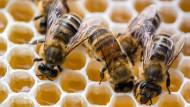 Hoher Verlust: In diesem Winter starben besonders viele Bienenvölker in Deutschland.