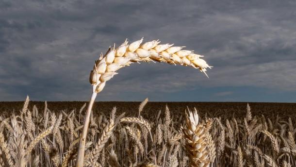 Dem Weizen beim Atmen zusehen