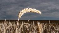 Klimafreund: Auch Weizen bindet Kohlendioxid