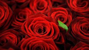 Für die Liebste müssen es Rosen sein