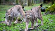 Familienbande: Die Luchse im Wildpark Alte Fasanerie in Hanau sind zusammen aufgewachsen.