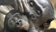 Fellpflege: Zwei Bonobos im Frankfurter Zoo, in dem gleich drei Affen dieser Art jetzt gestorben sind