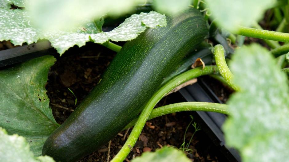 Allles so schön grün hier: Ein Zucchino in seinem natürlichen Umfeld
