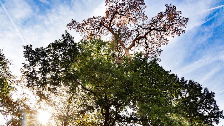 Warnzeichen Kronen: Der Blick zu den Wipfeln zeigt, wie schlecht es den Bäumen im Frankfurter Stadtwald geht.