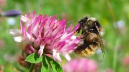 Hunderte Wildbienen-Arten vom Aussterben bedroht