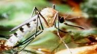 Bringt das Dengue-Fieber näher an Europa: Tigermücke