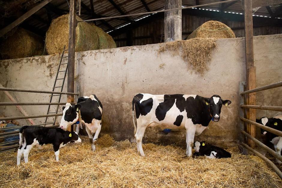 """Kühe und Kälber in Zöllers Stahl: Während des Projekts """"Der Bauernhof als Klassenzimmer"""" können auch Kinder hier vorbeischauen."""