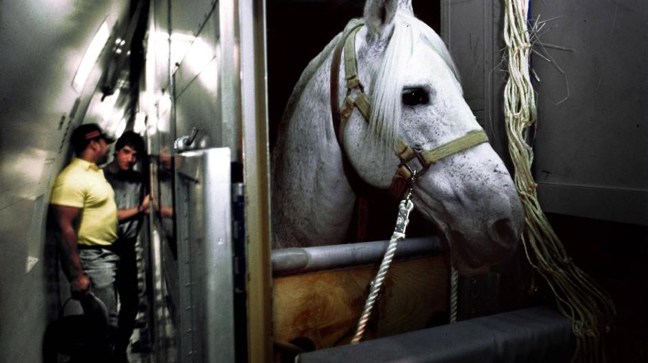 Pferd auf Reisen: Durch den globalen Turnierbetrieb hat sich die Krankheit bereits nach Qatar ausgebreitet.