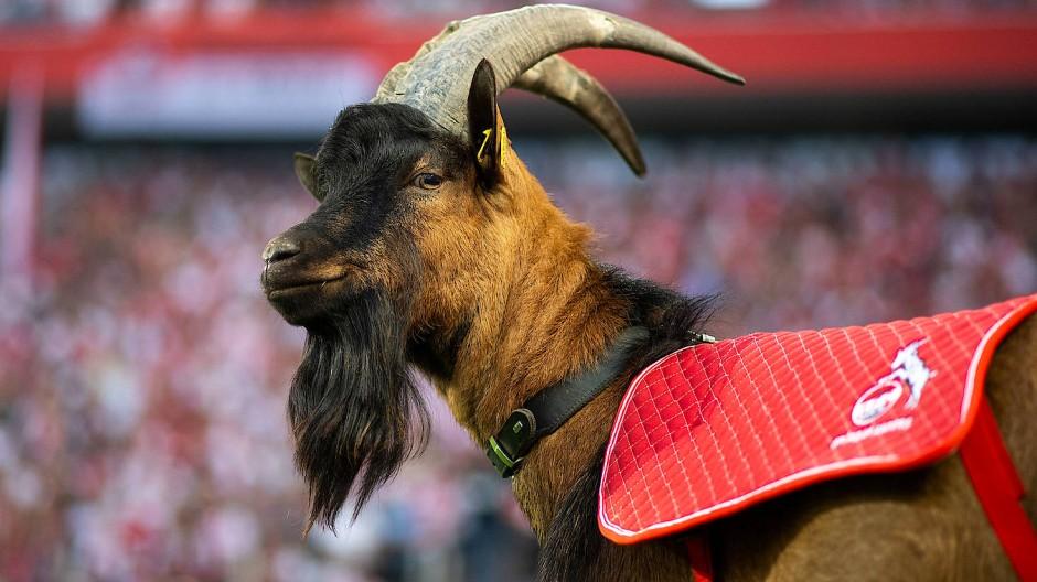 Der Geißbock ist das lebende Maskottchen des 1. FC Köln.