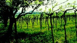 Valpolicella - ein Wein für alle Tage