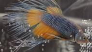 Vielfältige Zuchtformen: Kampffische haben unterschiedliche Flossenformen und prächtige Färbungen