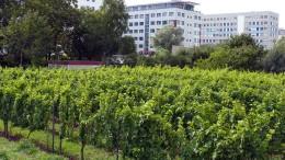 Der Wein erobert die Stadt zurück