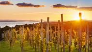 Am anderen Ende der Welt leuchtet der Wein: In wenigen Jahrzehnten hat sich Neuseeland - hier ein Weingut auf der Insel Waiheke bei Auckland - zu einer Nation großer Tropfen entwickelt.