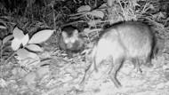 Erwischt: Nyctereutes procyonoides, ein Marderhund – auch Tanuki oder Enok genannt – mit Jungtier