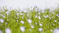 Blaue Blüte: Der Flachs ist eine umweltfreundliche Pflanze, er ist anspruchslos, braucht kaum Dünger und Schädlingsbekämpfungsmittel.