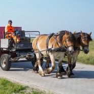 Die Kaltblutpferde Theo und Gustav ziehen den Abfallwagen der Insel Juist.