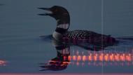 Spektrogrammvideo des nächtlichen Rufes des Eistauchers