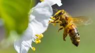 Eine Honigbiene ist im Anflug auf eine Süßkirschblüte.