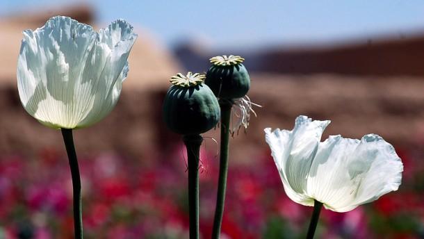 Opium-Rekordernte in Afghanistan