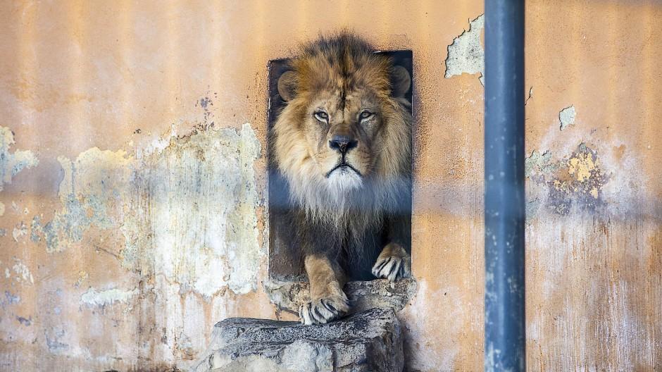 Der Löwe mit dem ungewöhnlichen Namen Schröder ist im Zoo von Neuwied geboren.