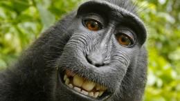 Kein Urheberrecht für Affen