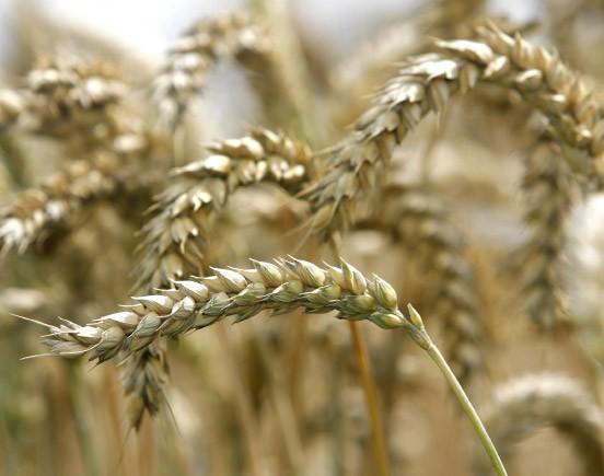 Beim Weizen hielten sich die Agrarkonzerne in punkto Gentechnik bislang zurück