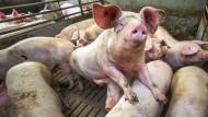 Blick in einen Schweinestall in Mecklenburg-Vorpommern