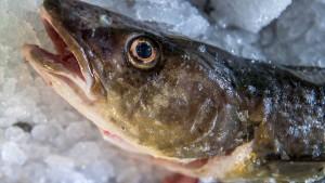Fangquoten in der Ostsee deutlich abgesenkt