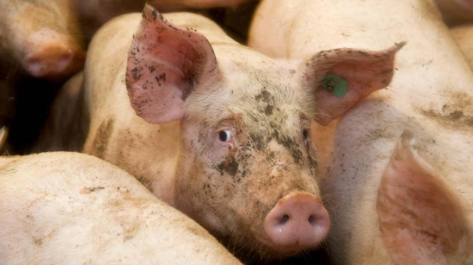 Schweine Mensch