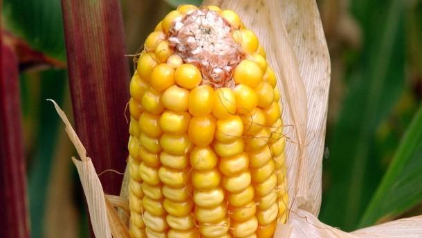 Der Anbau von Genmais 1507 wird wohl zugelassen