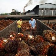 Von zweifelhaftem ökologischen Nutzen: Palmfrüchte auf der indonesischen Insel Sumatra.