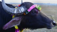 Kuh-Wächter in Indien verbreiten Angst unter Bauern