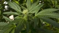Eine Marihuana-Pflanze auf einer Plantage in Kalifornien.