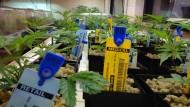Microsoft wagt sich ins heikle Marihuanageschäft