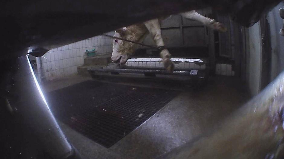 Tierschützern wurde Videomaterial aus dem Schlachthof zugespielt.
