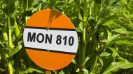 Monsantos Teufelszeug: Die in Deutschland verbotene Maissorte MON 810