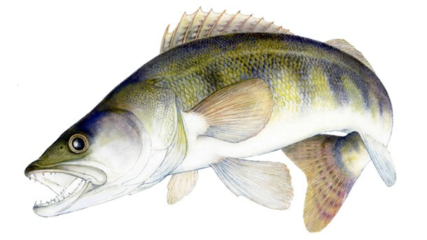 Tiger Barb besides French Angelfish Pomacanthus Paru as well Micro Fishing In Southern Florida likewise Jack dempsey for sale further Micro Fishing In Southern Florida. on oscar fish species