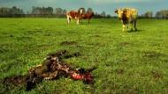 Nachts sind die Kühe auf der Weide von Ralf Högemann gefährdet. Am liebsten reißen die Wölfe die jungen Kälber, oft können die Muttertiere ihre Jungen aber verteidigen.