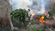 Große Marihuana-Plantagen in Mexiko vernichtet