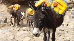 In Nigeria werden die Esel teurer – wegen China