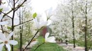 Weiße Pracht: Magnolien zählen im Frühling zu den Stars im Garten